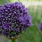 Au jardin, ail (Allium globemaster), Bosdarros, Béarn, Pyrénées Atlantiques, Aquitaine, France.