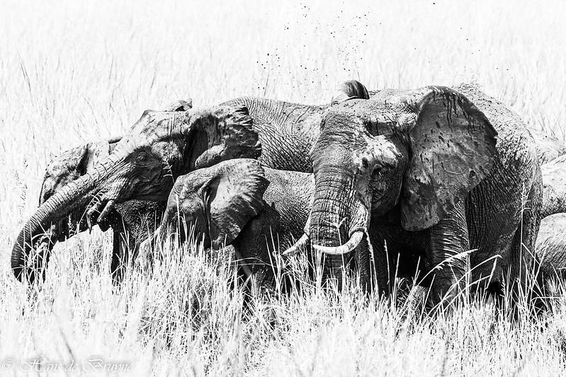 Elephants in Kidepo Uganda