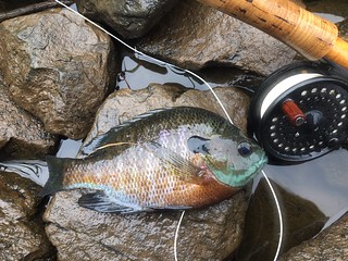 Photo of Bluegill with fly rod