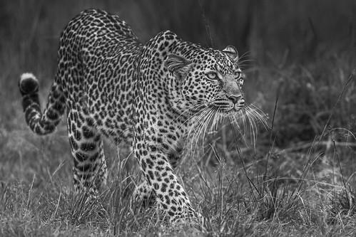 léopard bw-2309