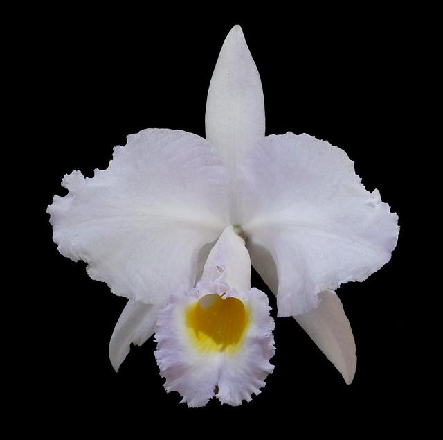 Cattleya trianae concolor