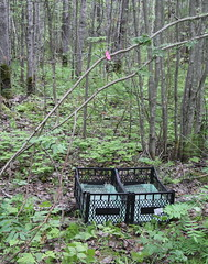 The leaf trap in secondary aspen forest