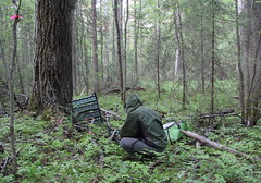 Installation of leaf traps in old growth coniferous forest with aspen