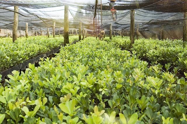 Yerba Mate Plantation - teapro