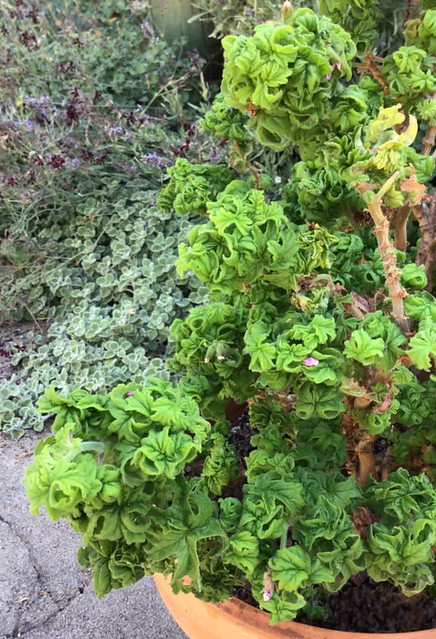 Pelargonium graveolens 'Colocho'