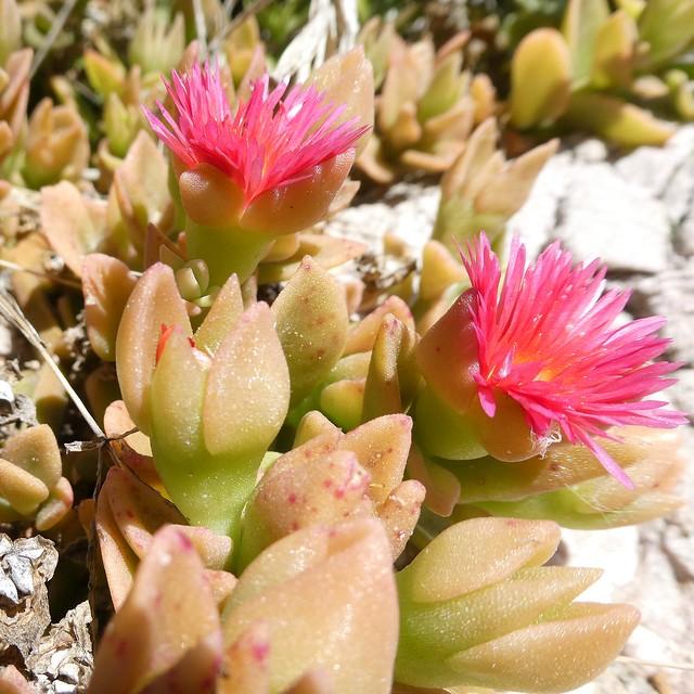 Mesembryanthemum cordifolium L. f. = Aptenia cordifolia (L. fil.) Schwantes