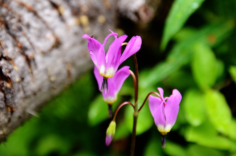 Shooting star flower (1)