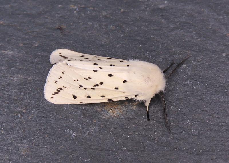 72.020 White Ermine - Spilosoma lubricipeda