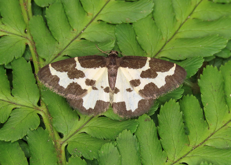 70.207 Clouded Border - Lomaspilis marginata