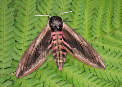 69.006 Privet Hawk-moth - Sphinx ligustri
