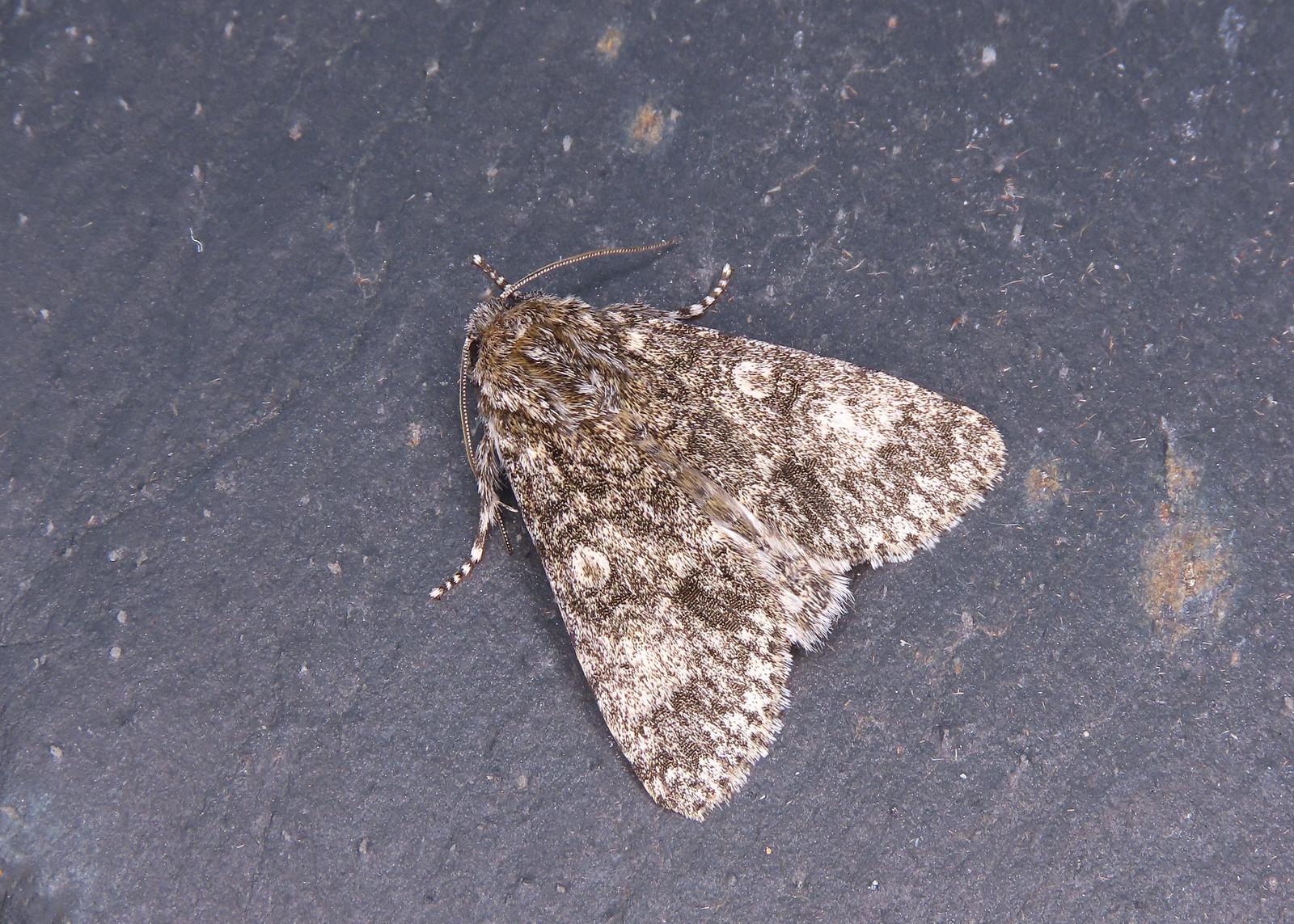 73.046 Poplar Grey - Subacronicta megacephala