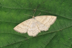 70.026 Smoky Wave - Scopula ternata