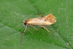 28.015 Lesser Tawny Tubic - Batia lunaris
