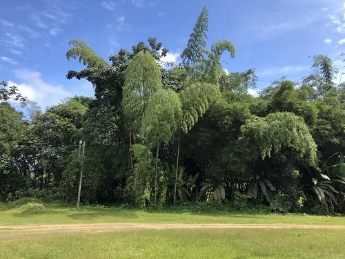 cemba ecuador bamboo guadua angustifolia guaduaangustifolia