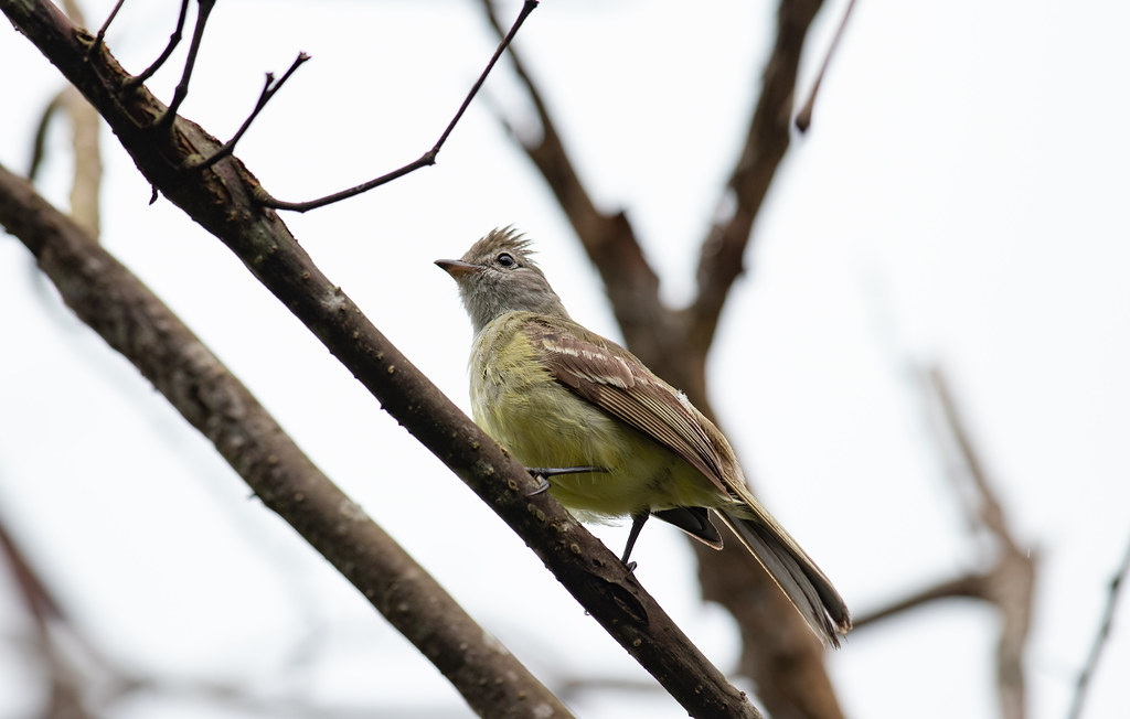 Yellow-bellied Elania
