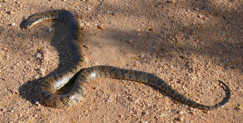False Water Cobra (Hydrodynastes gigas) dead on the road ...