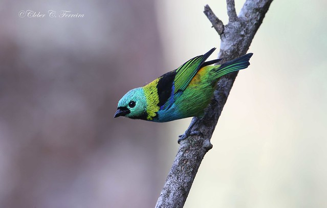 Green- headed Tanager - Tangara seledon