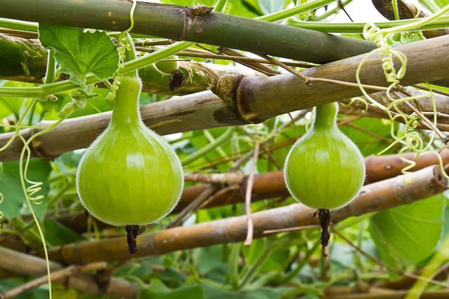 Young green calabash