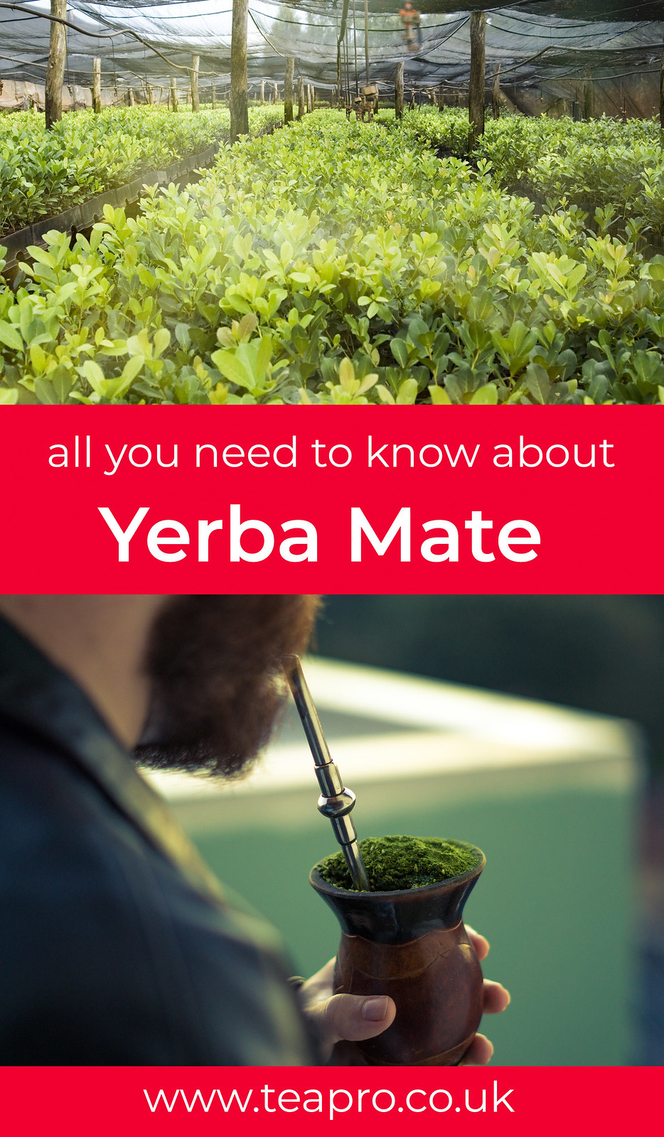 teapro-all-you-need-to-know-about-yerba-mate