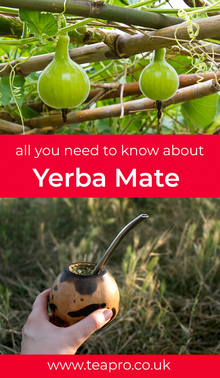 teapro-all-you-need-to-know-about-yerba-mate-pinterest