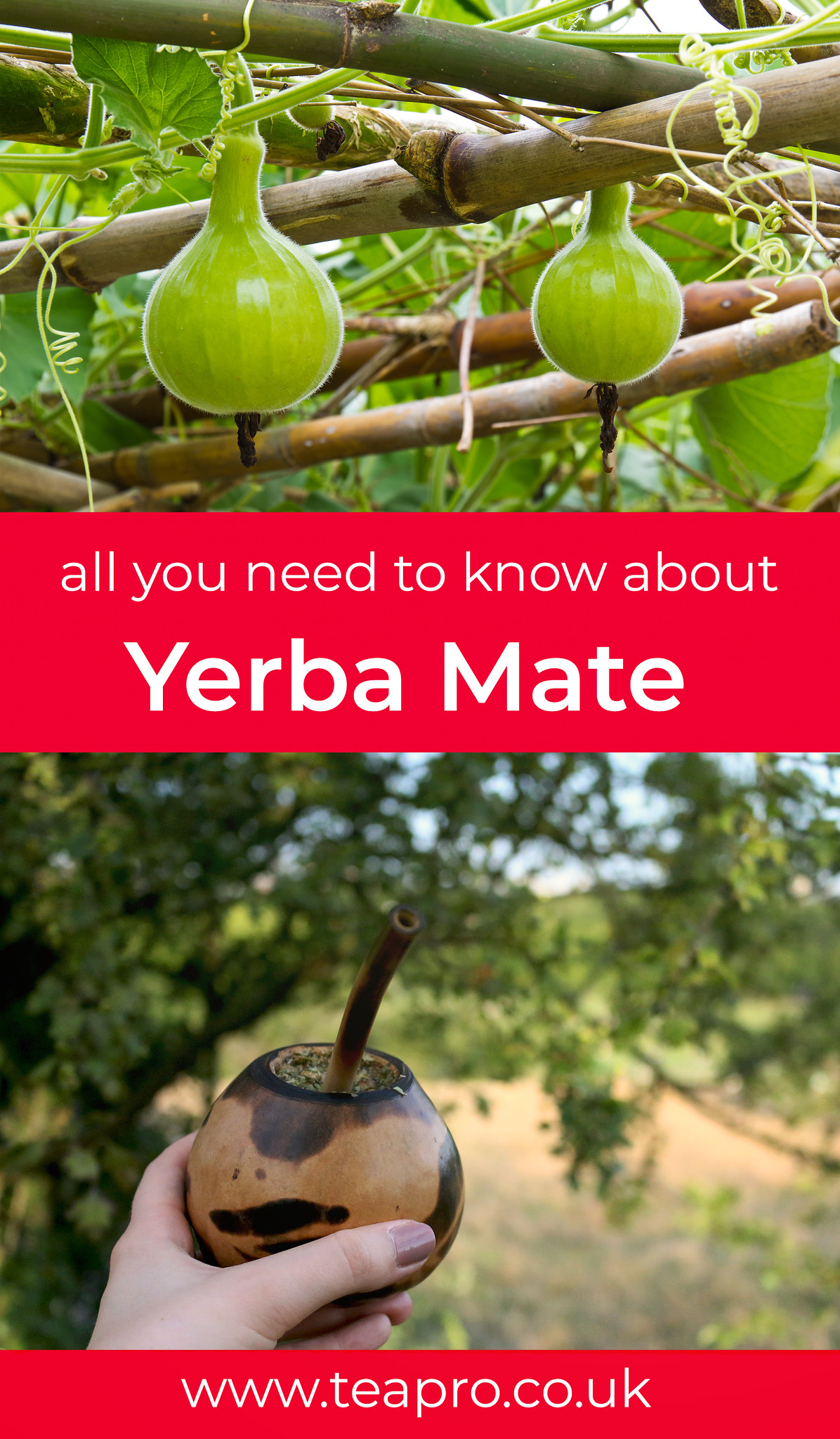 _all-you-need-to-know-about-yerba-mate-pinterest