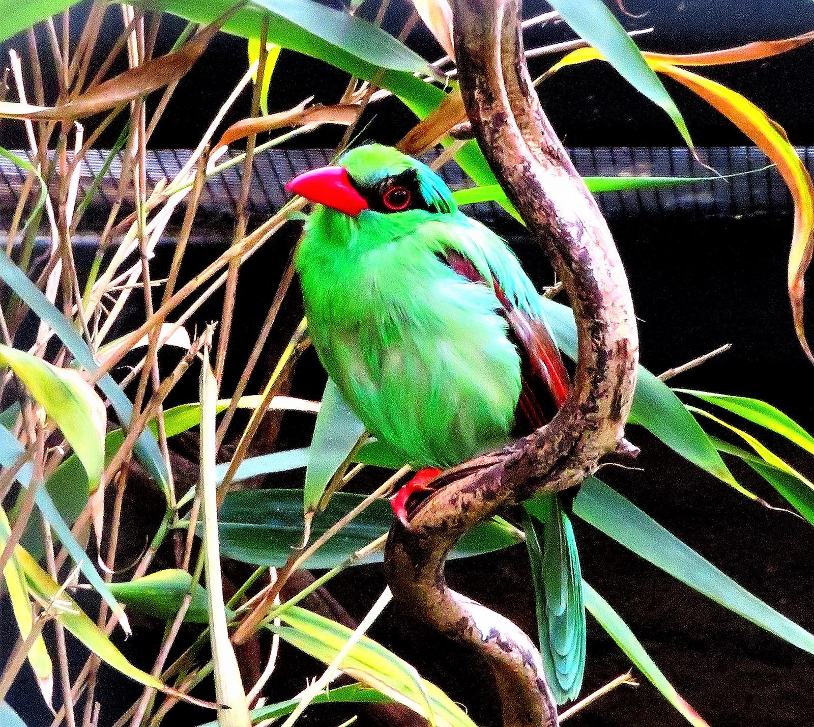Javan Green Magpie