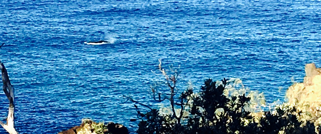 Whale. View from Double Island Point Lighthouse.