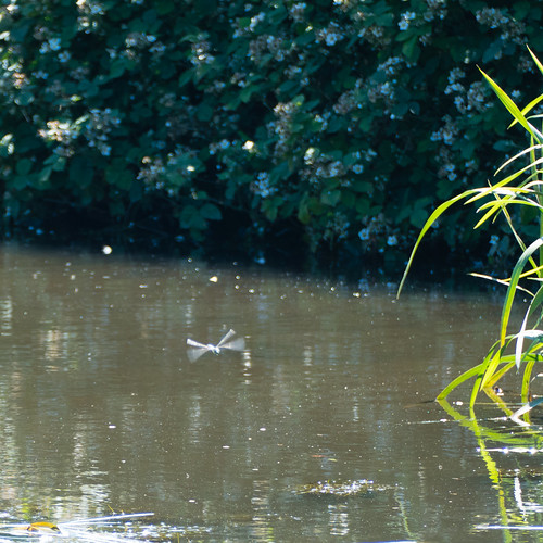 Dragonfly on patrol, canal, Compton