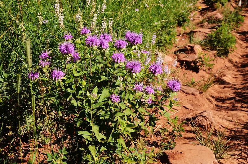 Horsemint flowers (1)