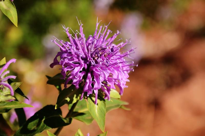 Horsemint flowers (3)