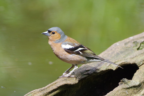 wild bird nature wildlife norfolk fringillacoelebs chaffinch