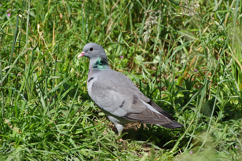 wild bird nature wildlife norfolk stockdove columbaoenas