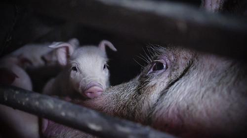 Maltrato y cadáveres en descomposición en granja de cerdos en Italia