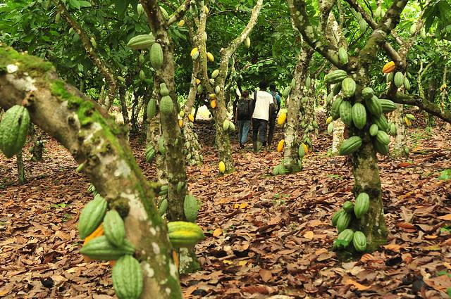 Kakaoplantage in Kroanamu, Ghana