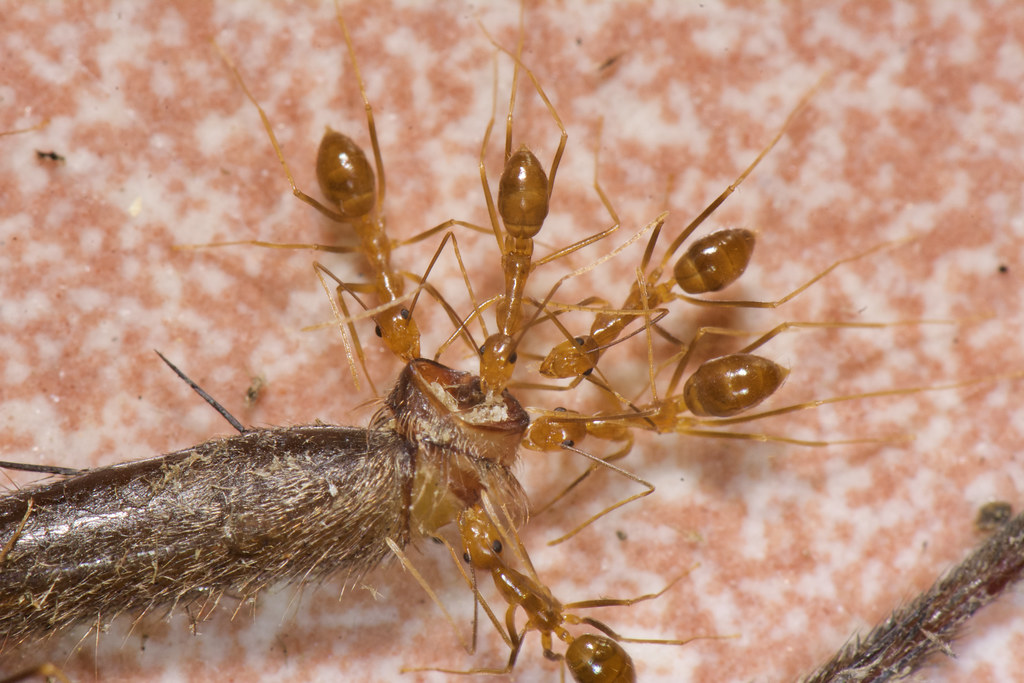 長腳捷蟻看似正在啃食白額高腳蛛腳內的肌肉組織。洪碩辰拍攝。