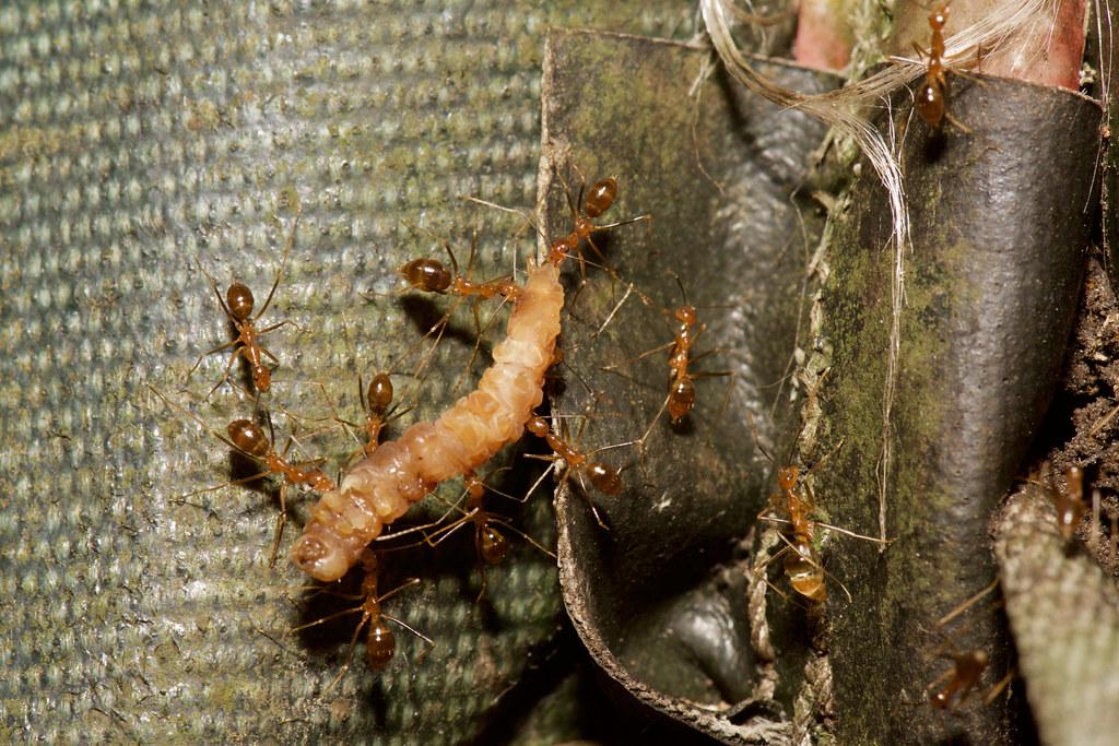 搬運獵物中的長腳捷蟻,可看見螞蟻們分工合作,使用大顎咬住獵物。洪碩辰拍攝。