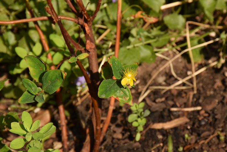 My St John's wort has a flower!
