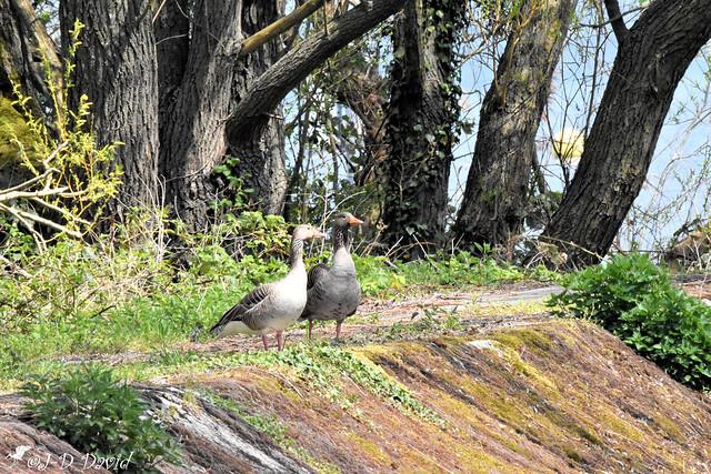 Couple d'Oies cendrée 1