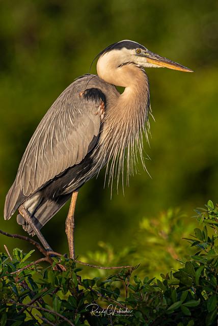 Great Blue Heron - Ardea herodias   2019 - 3
