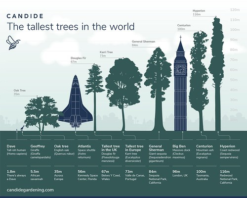 Tallest Trees in the World infographic