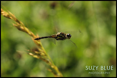 Black Darter (male)