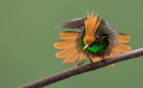 Lophornis delattrei - Rufous-crested Coquette - Coqueta Crestirrufa - Coqueta Crestada 39