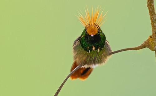 Lophornis delattrei - Rufous-crested Coquette - Coqueta Crestirrufa - Coqueta Crestada 13