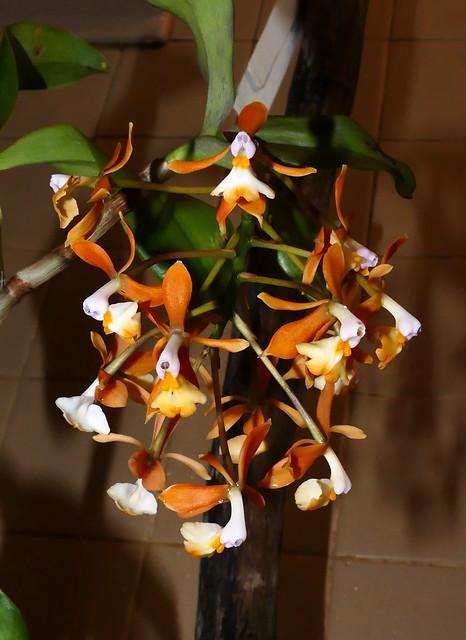 Epidendrum greeenwoodii species orchid, 1st bloom continues  6-19*