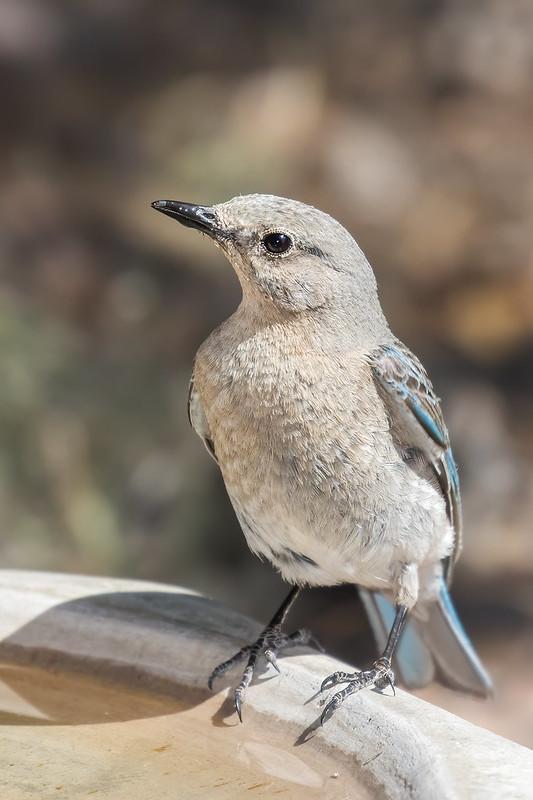 Mountain-Bluebird-47-7D2-071219
