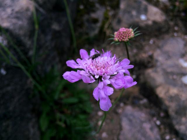 Fly on a purple flower