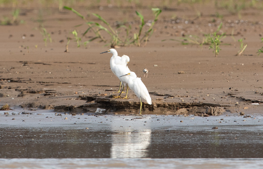 Collared Plover behind Snowy Egrets