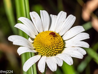 Ox eye Daisy with leaf beetle | by dudutrois