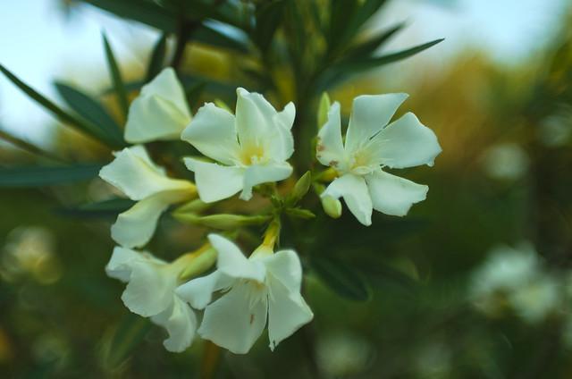 Nerium oleander blossoms