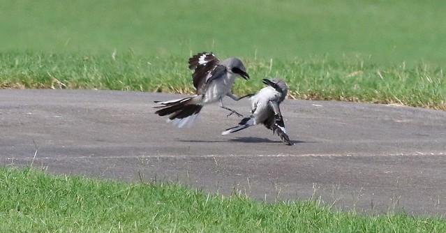Loggerhead Shrikes Fighting Over Territory!